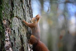 esquilo vermelho bonito subindo na casca do tronco de árvore foto