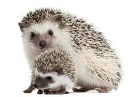 imagem de mãe e filho fofo ouriço de quatro dedos foto