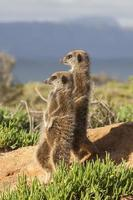 dois mangusto em pé foto