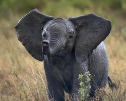 elefante africano no parque nacional serengeti, tanzânia, áfrica
