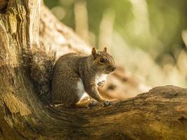 esquilo cinzento (sciurus carolinensis) foto