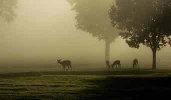 veado de cauda branca na manhã de nevoeiro