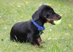 filhote de cachorro bassê em miniatura