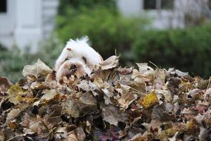 cão e pilha de folhas foto