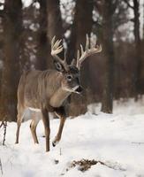 cervos de whitetail foto
