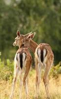 irmãos cervos