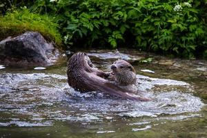 duas lontras de rio europeus jogando em um riacho