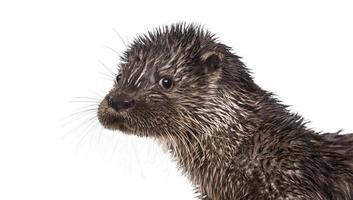 close-up de uma lontra europeia, olhando para a câmera foto