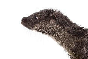 close-up do perfil de uma lontra europeia foto