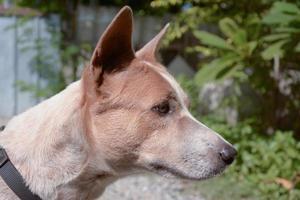 cachorro tailandês foto