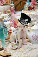 chapeleiro louco tea party chihuahua filhote de cachorro foto