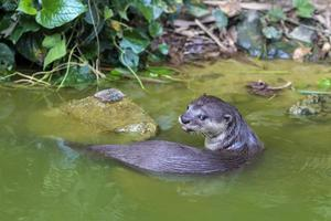 lontra de rio curiosa foto