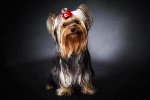 jovem yorkshire terrier mostra classe foto