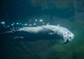 lontra debaixo d'água foto