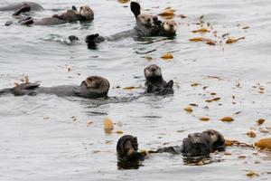 grupo de lontras marinhas foto