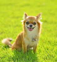 cachorro chiwawa na grama no parque foto