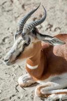 gazela dama