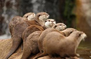 lontras-de-garras-orientais foto