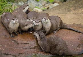 lontras brincalhão adoráveis foto