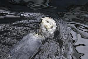 lontra selvagem do mar em repouso foto