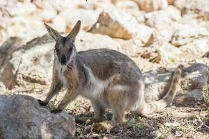 wallaby de rocha de pés amarelos foto