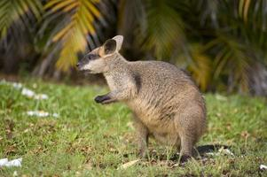 wallaby do pântano foto