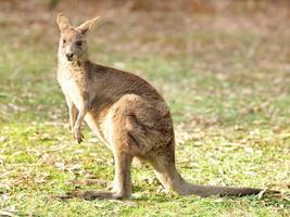 wallaby na frente de um fundo branco foto