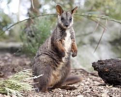 wallaby rocha de cauda escovada foto