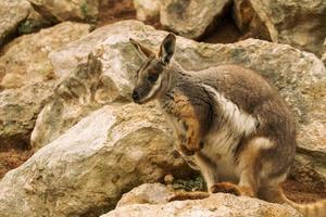 wallaby rock australiano foto