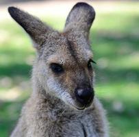 tiro na cabeça canguru australiano foto