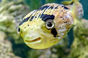 peixe porco-espinho foto