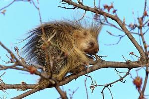 porco-espinho na árvore saskatchewan canadá foto