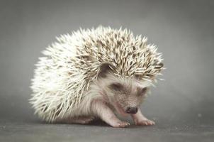 fundo de bebê muito jovem ouriço roedor foto