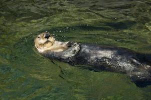 lontra do mar, enhydra lutris foto