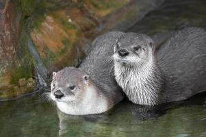 lontras de rio canadenses foto