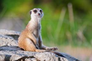 meerkat ou suricate foto