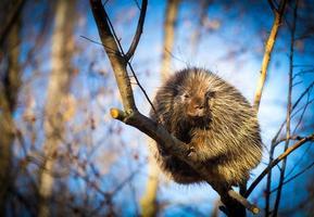 porco-espinho norte-americano descansando em uma floresta boreal. foto