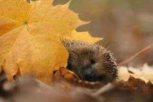 ouriço folhas de outono floresta foto