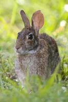 coelho no parque do ponto bowditch foto