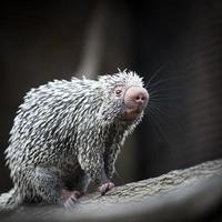 close-up de um porco-espinho brasileiro bonito foto