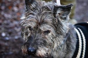 retrato pequeno cão cinzento foto