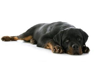 filhote de cachorro rottweiler foto
