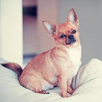 cachorro chihuahua vermelho sobre fundo bege com efeito de filtro retrô.