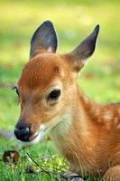 cervo jovem foto
