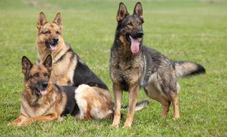 três pastores alemães