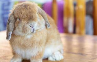 holland lop rabbit foto