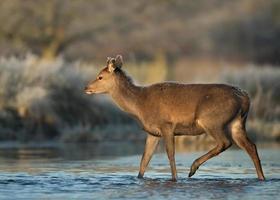 jovem cervo vermelho atravessando o rio