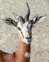 gazela dama foto