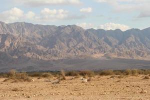addax / orix árabe e montanhas edom foto