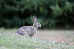 coelho, lepus curpaeums foto